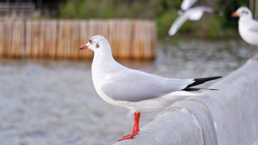 Close-up of seagull perching