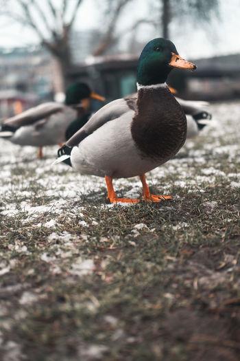 Duck Fujifilm