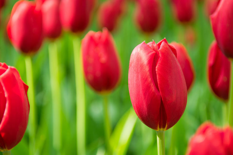 Blooming red tulips, selective focus, shallow depth of field Easter Freshness Love Natural Romance Romantic Tulips Valentine's Day  Vivid Anniversary Blooming Blossom Congratulating Flower Fragility Fresh Freshness Inflorescence Meadow Nature Red Spring Springtime Tulip Vibrant