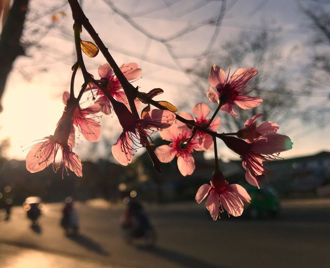 Sakura Dalat Spring Blossom Sakura Growth Flower Tree Nature Beauty In Nature Fragility Close-up Outdoors No People Focus On Foreground Day Branch Freshness Flower Head Sky