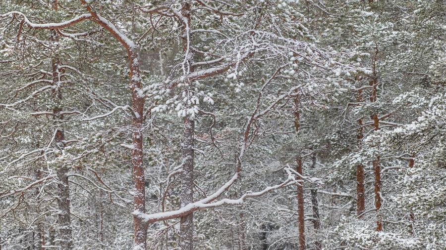 Full frame shot of bare trees in forest during winter
