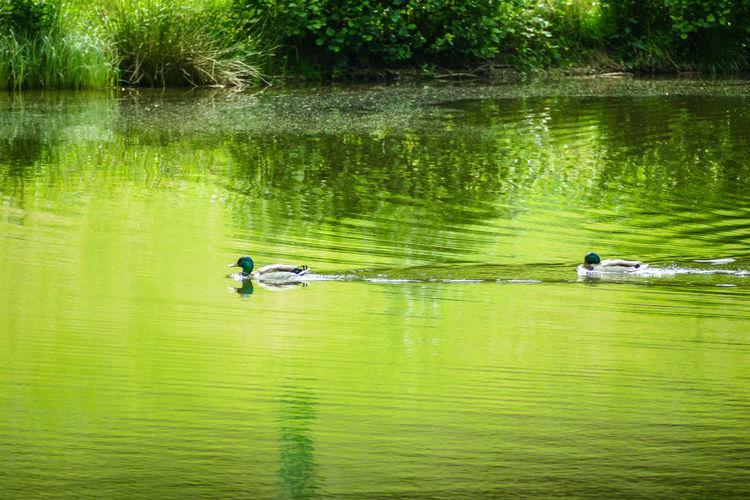 Enten aus dem Frankenwald Deutschland Enten Windheim Ducks Frankenwald  Hirschfeld Oberfranken