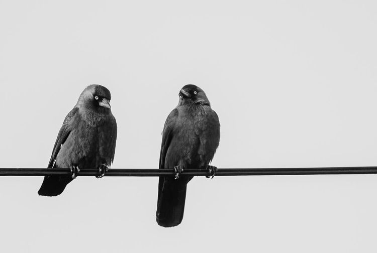Funny Birds Black Jackdaws Jackdaw EyeEm Selects Bird Perching Vertebrate Animal Themes Sky Animal Animal Wildlife No People Two Animals Low Angle View Outdoors Cable Clear Sky Day Nature Copy Space Connection