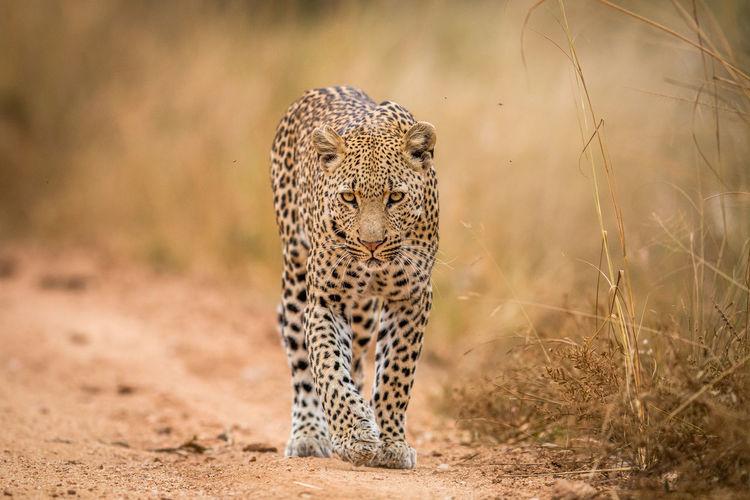 Portrait of leopard walking on field