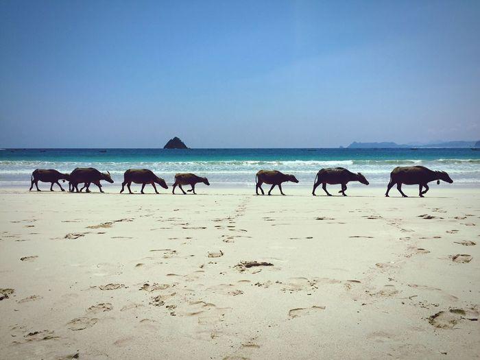 Water buffalos walking at beach against clear sky