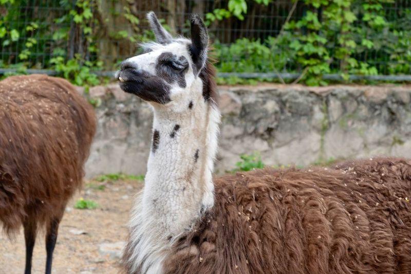 Alpaca Camel Alpaca Animal Themes Animal Mammal Vertebrate Domestic Animals Pets Domestic Llama Animal Wildlife No People Nature Plant Animals In The Wild Day Focus On Foreground Livestock Herbivorous Group Of Animals Field Land