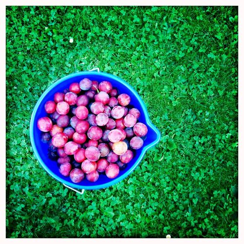 Plums in a bucket on a green meadow / Pflaumen in einem Eimer auf grüner Wiese Grün Pflaumen Landwirtschaft Obst Wiese  Eimer Pflaume Plum Bucket Green Food Freshness Healthy Eating Auto Post Production Filter High Angle View Transfer Print Food And Drink Blue Grass Fruit Bowl Large Group Of Objects