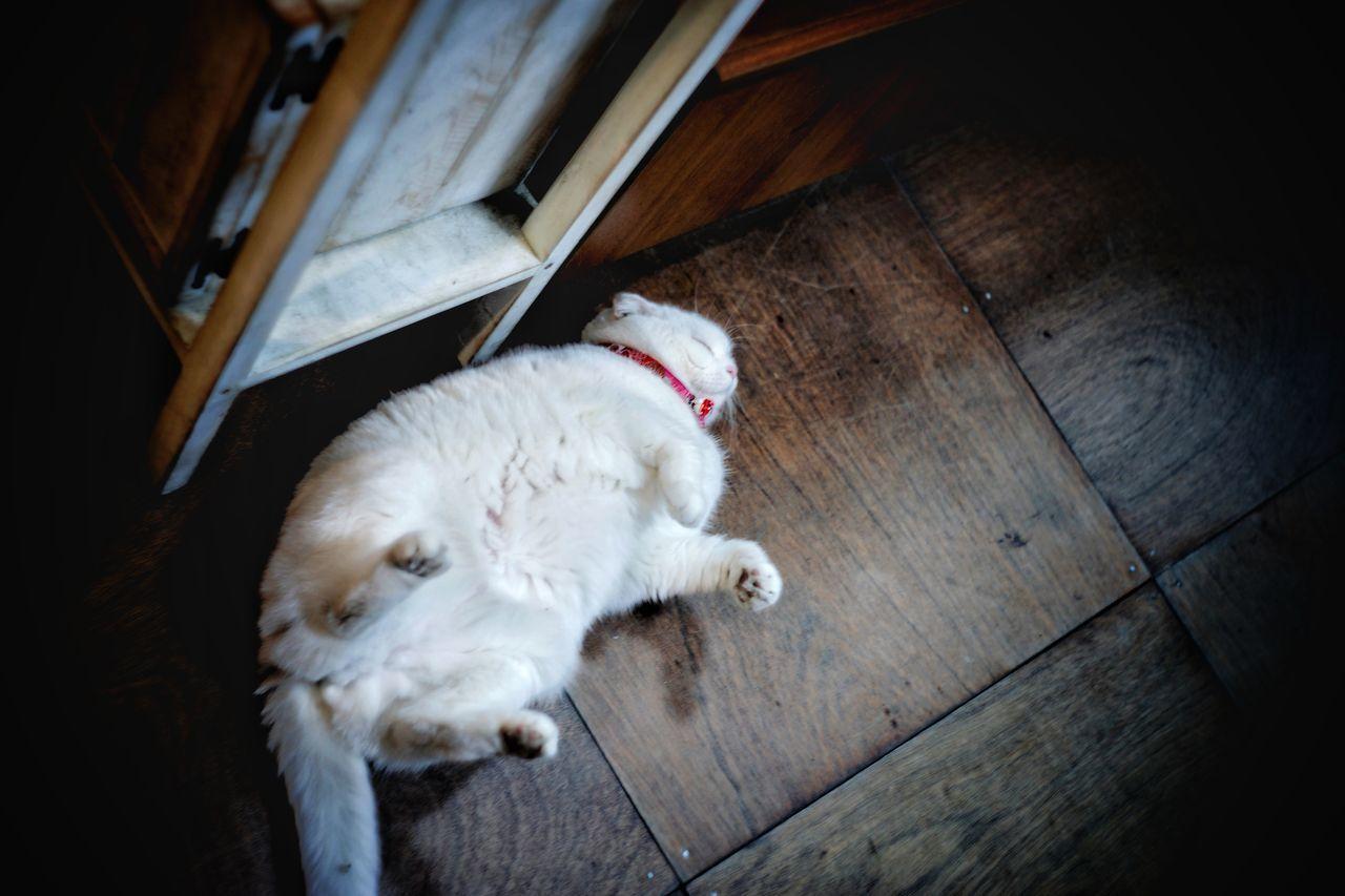 HIGH ANGLE VIEW OF WHITE CAT SLEEPING ON HARDWOOD FLOOR