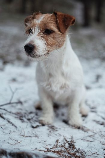 Jack Russell terrier sitting on a first snow. Dog Pets One Animal Domestic Animals Animal Themes Mammal No People Day Outdoors Nature Cold Temperature Snow Jackrussellterrier Jack Russell Terrier First Snow Firstsnow Jack Russell Winter Nature Dog Outside Jrt
