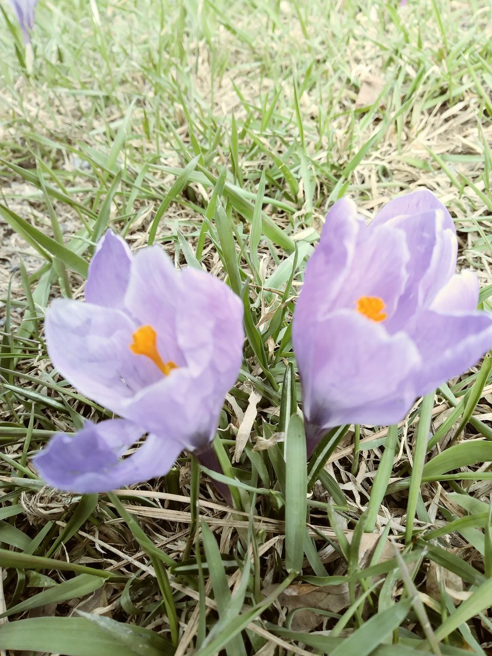 flower, growth, petal, nature, field, freshness, beauty in nature, blooming, fragility, outdoors, grass, no people, day, flower head, close-up, crocus