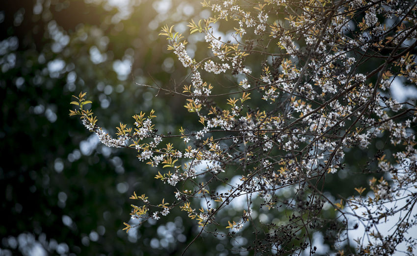 Butterfly forest Plant Tree Growth Beauty In Nature Fragility Flower Vulnerability  Flowering Plant Branch Freshness No People Day Focus On Foreground Nature Close-up Blossom Selective Focus Springtime Low Angle View White Color Outdoors Cherry Tree Flower Head Cherry Blossom