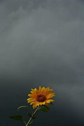 Before the rain. Photoville Photography Photovillenyc Sunflower Photovogue Eye4photography  EyeEm Best Shots EyeEm Nature Lover EyeEm