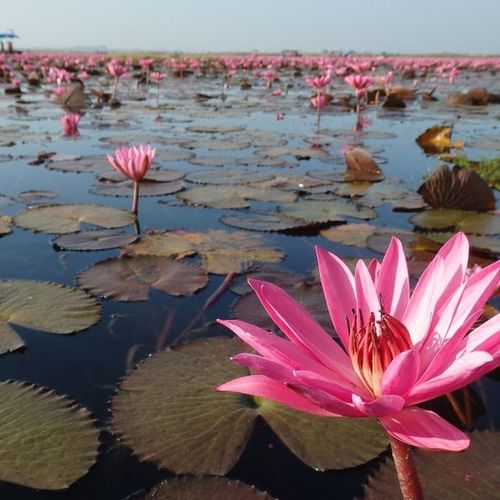 Red Lotus Lake in Thailand. ThousandMilesJourney.com Relaxing Taking Photos Enjoying Life Travelingtheworld  Backpacking Travelaroundtheworld Follow4follow ThousandMiles Travel Photography Thailand Redlotusocean Red Lotus Lake