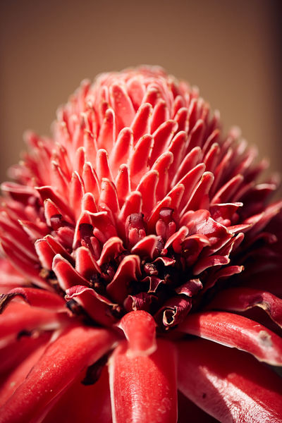 Etlingera elatior, torch ginger Torch Ginger Beauty In Nature Blooming Close-up Day Etlingera Elatior Flower Flower Head Fragility Freshness Growth Nature No People Outdoors Petal Plant Red