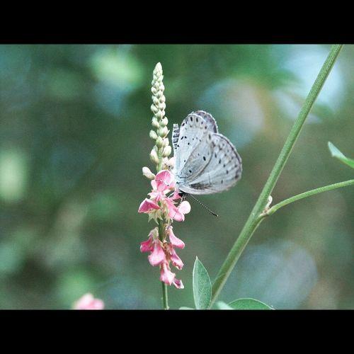 _Indigofera pseudo-tinctoria_ Weeds Pseudozizeeria Maha Hairstreak Butterfly