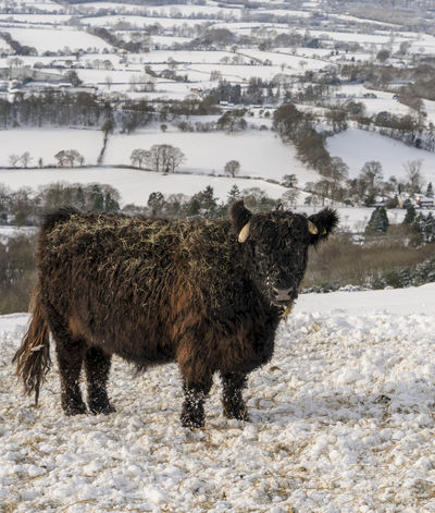 Scenes from Malvern after the early December 2017 snowfall. Britain Malvern Hills Snow ❄ Wintertime Animal Themes Beauty In Nature Cold Temperature Cow Day Domestic Animals Field Grass Highland Cattle Landscape Livestock Mammal Nature No People One Animal Outdoors Snow Snowfall Standing Uk Weather Winter Worcestershire