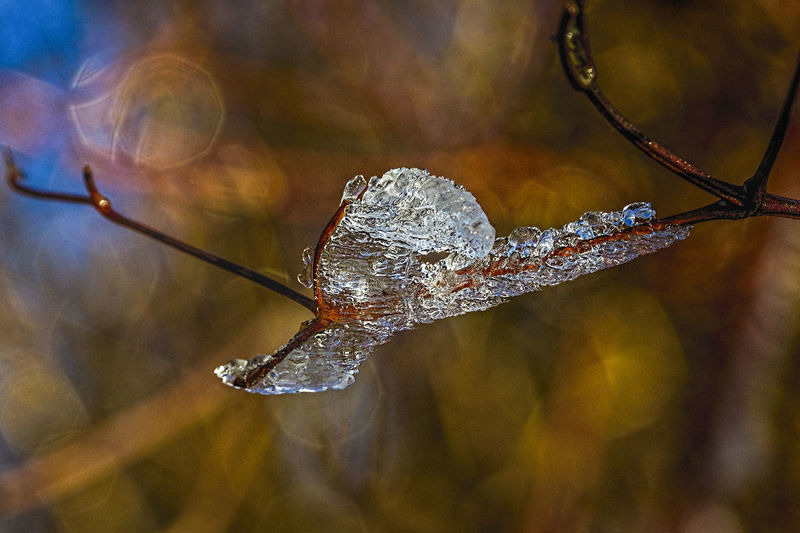 icebird Ice Animal Themes Animals In The Wild Beauty In Nature Bird Branch Close-up Cold Temperature Day Drop Focus On Foreground Fragility Freshness Insect Leaf Nature No People One Animal Outdoors Scultpure Water