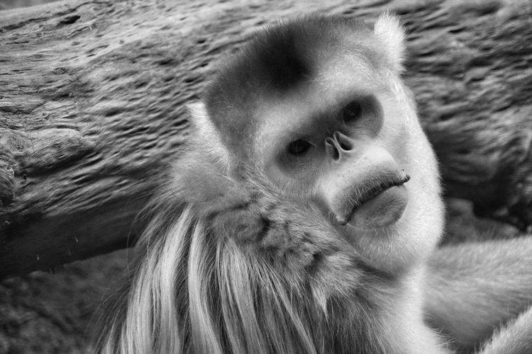 One Animal Animal Themes Animals In The Wild Animal Wildlife Nature Monkey Close-up Outdoors Hong Kong Nature Tim Wong Black And White Sony