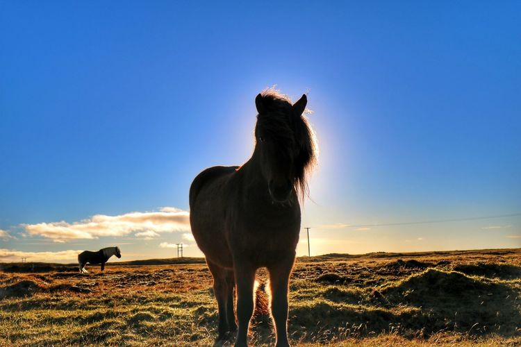 Horse standing on field against sky during sunset