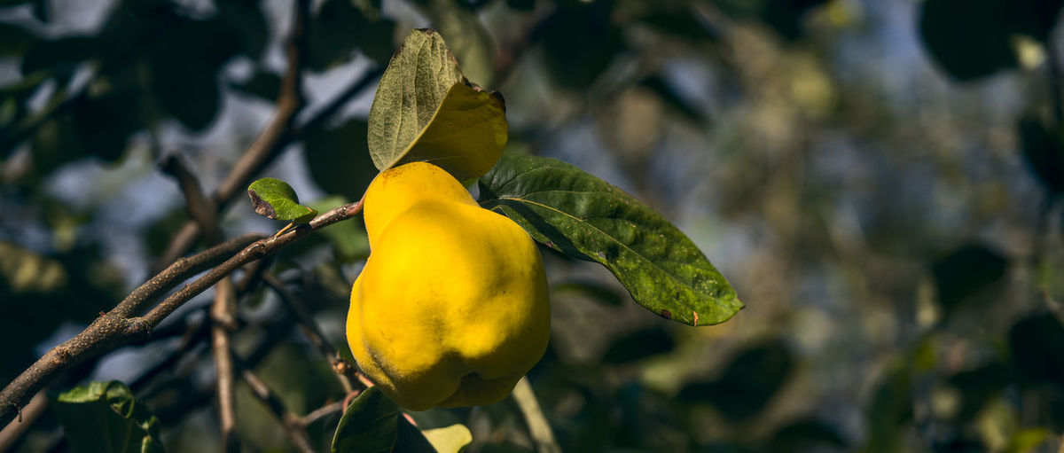 Close-up of yellow fruit on plant