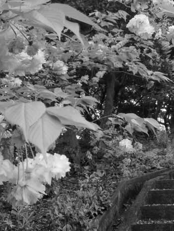 Blackandwhite Forest Path Forest Photography Flower Growth Plant Nature Blossom Petal Fragility Leaf Tree Beauty In Nature No People Day Outdoors Blooming Flower Head Freshness Saikai City Japan