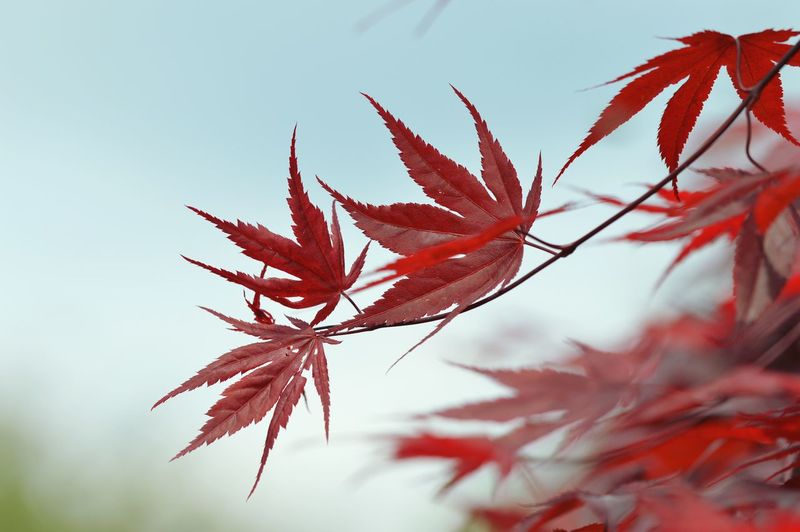 Close-Up Of Maple Leaf Against Clear Sky