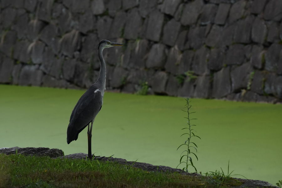 Nature Animals In The Wild Bird Heron No People One Animal Outdoors Stone Wall