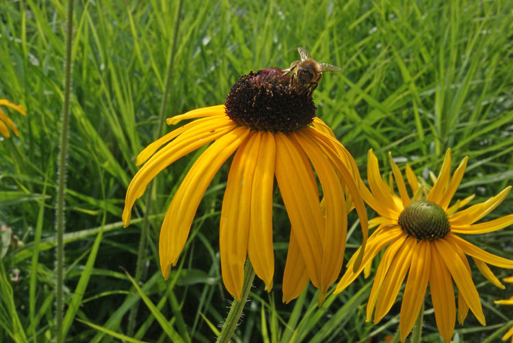 EyeEm Nature Lover EyeEm Nature Collection Animal Themes Beauty In Nature Bee Black-eyed Susan Blooming Close-up Coneflower Day Flower Flower Head Fragility Freshness Grass Green Color Growth Nature No People Outdoors Petal Plant Pollen Yellow Paint The Town Yellow