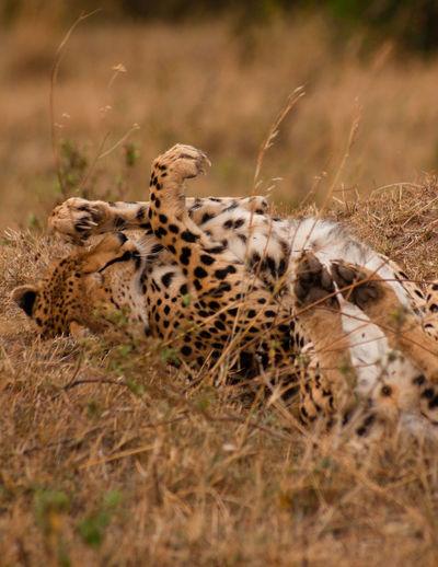 Kenya Masai Mara National Reserve Masai Mara Africa Safari Wildlife Animal Animals In The Wild Cheetah Cat Feline Animal Themes Big Cat Spotted One Animal Animal Wildlife