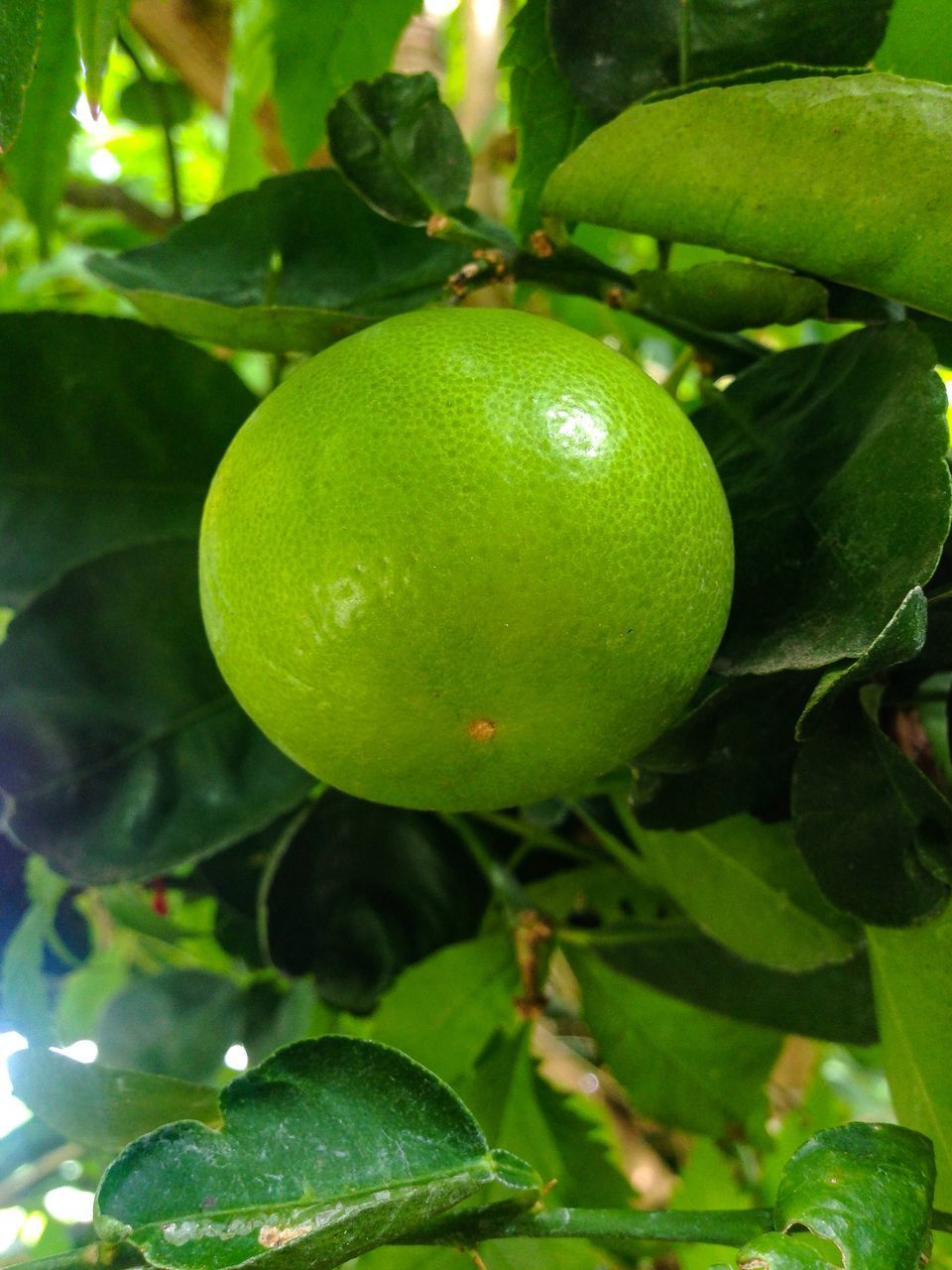 CLOSE-UP OF GREEN FRUIT TREE