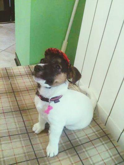 One Animal Dog Domestic Animals Pets Animal Themes Dog❤ Stella Minidogs