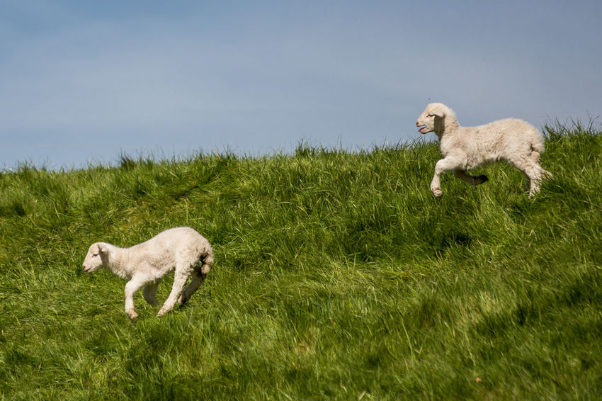 50+ Lamb - Animal Pictures HD | Download Authentic Images on