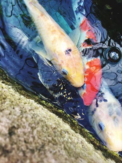 Fish Koifish