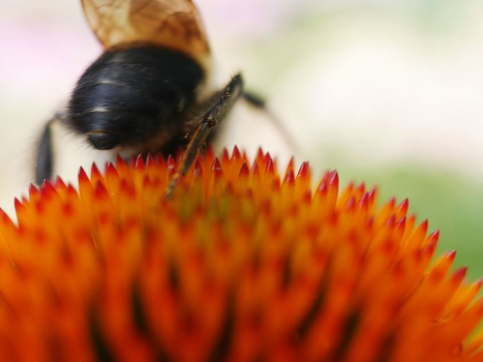 Close-up of bumblebee pollinating on red coneflower at park