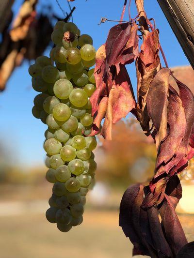 Wein Weintrauben Trauben Food And Drink Focus On Foreground Hanging Healthy Eating Food Growth