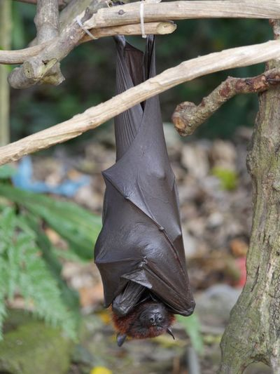 Fruit Bat,