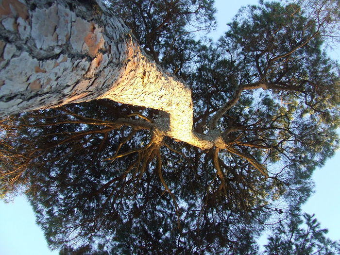 Angle Shot Angle View Branch Branches Branches And Sky Cortex Crust Doñana Growth La Algaida Low Angle View Pinar De La Colonia Monte Algaida Pine Tree Pinewood Rind Tall - High Tree Tree Trunk