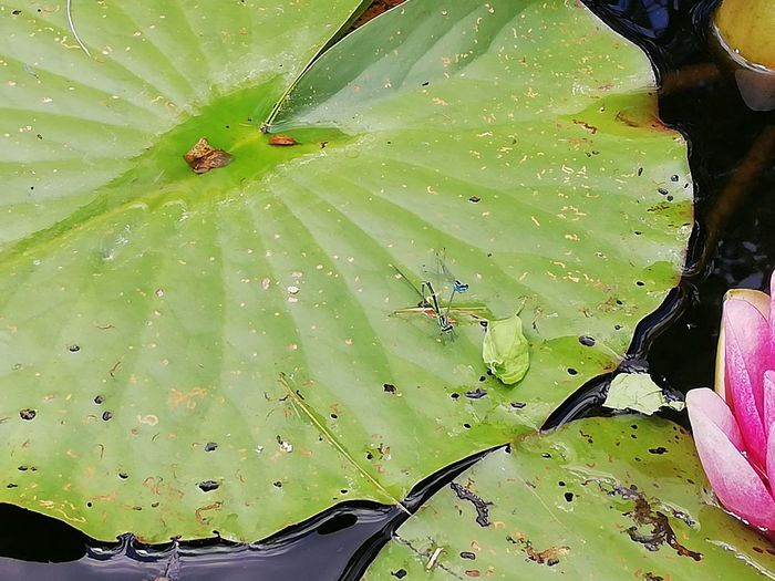 Water Leaf Insect Prickly Pear Cactus Multi Colored Close-up Green Color