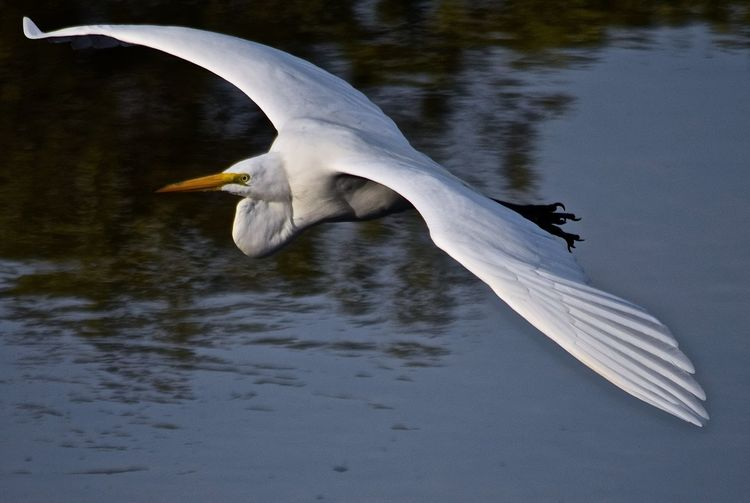 Great egret flying over lake