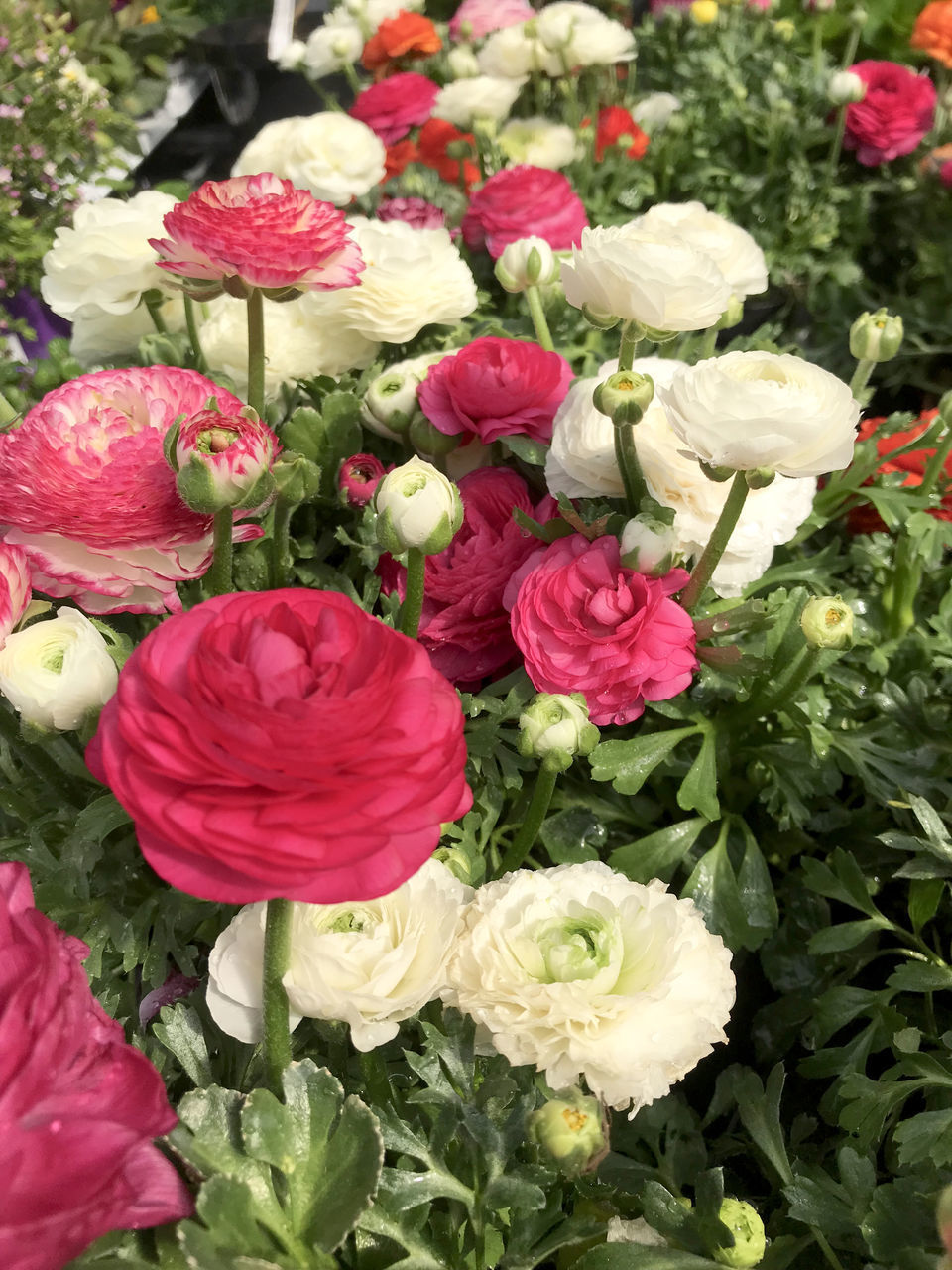 HIGH ANGLE VIEW OF ROSE BOUQUET ON PLANT