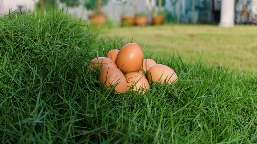 Eggs On Grassy Field At Yard