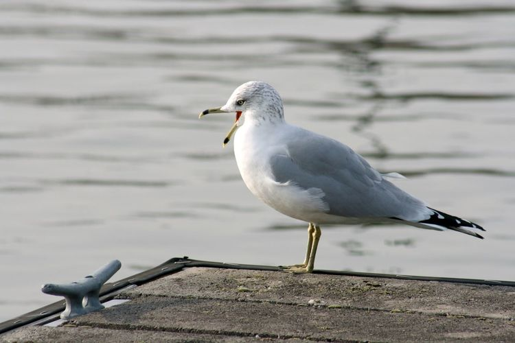 Gull sitting on a dock at Monroe Lake, Indiana Bird Animal Themes Animal Vertebrate Animals In The Wild Animal Wildlife One Animal Seagull Perching Day Focus On Foreground No People Water White Color Wood - Material Nature Sea Bird Full Length Beak Outdoors Gull Gulls Lake