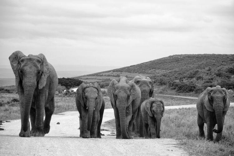 Elephant Family Addo Elephant National Park Blackandwhite African Elephant Elephant Safari Animals Animal Themes Sky Elephant Calf Tusk