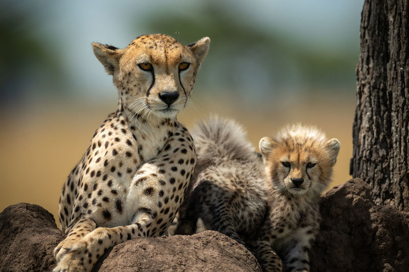 Close-up portrait of cheetah with cubs on rocks