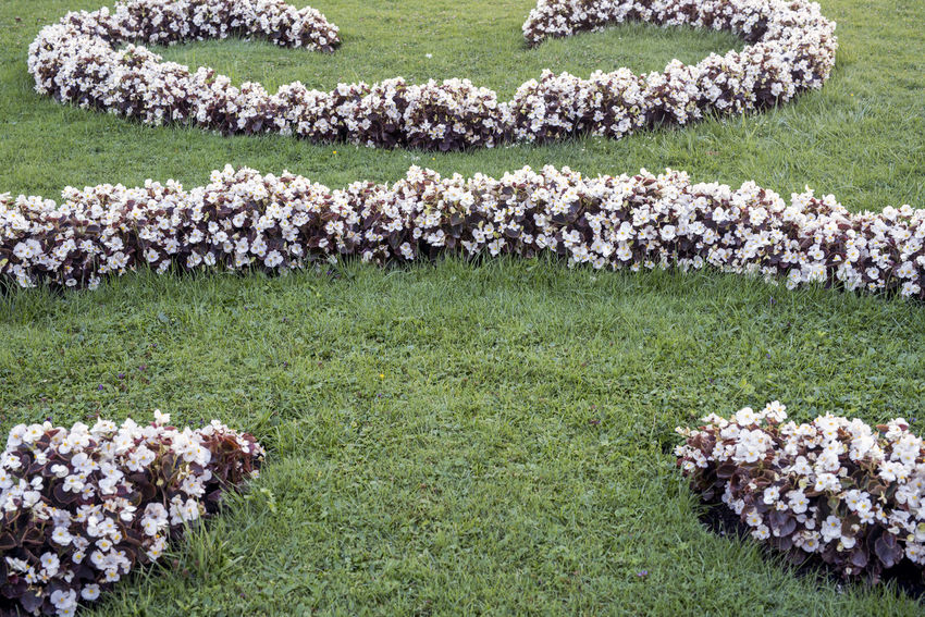 Begonia Flower Garden Flowers Gardening Pattern Pieces Pattern, Texture, Shape And Form Patterns In Nature Backgrounds Beauty In Nature Begonia Day Flower Flower Head Flowerbed Freshness Grass Nature No People Outdoors Pattern Patterns White Color