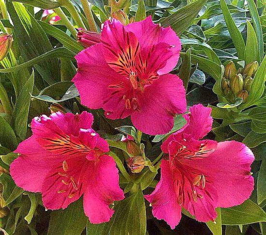 My Flowers Fiori Flowers Astromelias