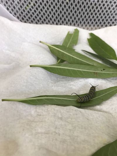 My first Monarch Caterpillar Second Stage Of Metamorphosis Feeding On Milkweed Leaves Saved From Predators plant milkweed and Save The Monarch ! Butterfly Caterpillar Preserving Wildlife