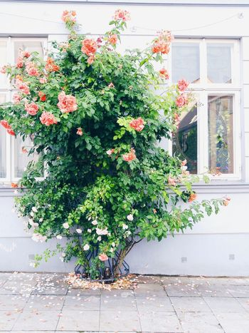 Beauty In Nature Blooming Blossom Day Flower Growth House In Bloom Leaf Nature Outdoors Plant Rosé Window
