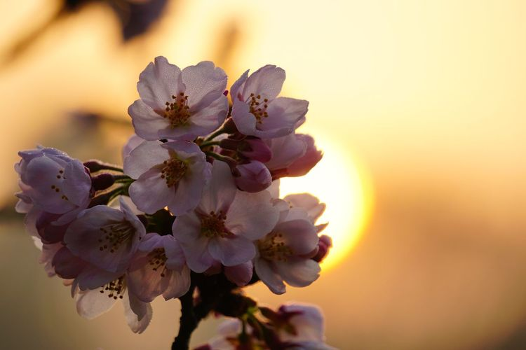 Sunshine Sakura Flower Beauty In Nature Nature Close-up Fragility No People Growth Flower Head Plant Outdoors Focus On Foreground Petal Freshness Day Sunset Sky Tree