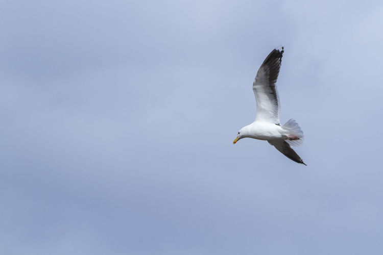 Seagull with spread wings in the sky of Staten Island Animal Animal Themes Animal Wildlife Animals In The Wild Bird Clear Sky Copy Space Day Flying Low Angle View Mid-air Motion Nature No People One Animal Outdoors Seagull Sky Spread Wings Vertebrate White Color EyeEmNewHere #FREIHEITBERLIN The Great Outdoors - 2018 EyeEm Awards